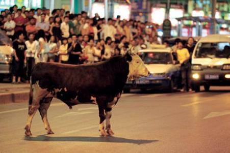 Mucca in fuga in Cina