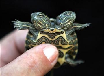 Tartaruga a due teste