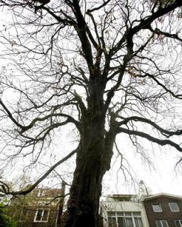 L'albero di Anna Frank