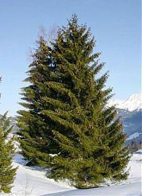 L\'albero più antico